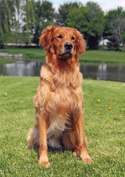 Pin By Diane Vitale On Goldens Golden Retriever Red