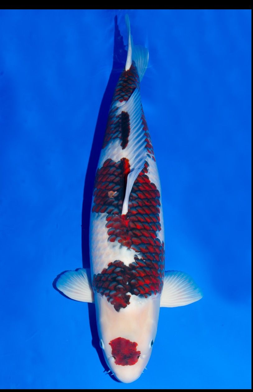 Goromo koi varieties pinterest koi and wild life for Koi fish varieties