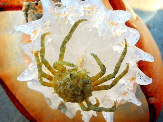 Spider Crab, Wrightsville Beach