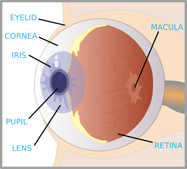 The eye diagram for kids nurse pinterest diagram and homeschool the eye diagram for kids ccuart