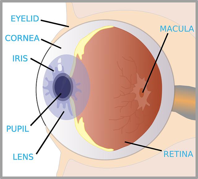 The eye diagram for kids nurse pinterest diagram and homeschool the eye diagram for kids ccuart Gallery
