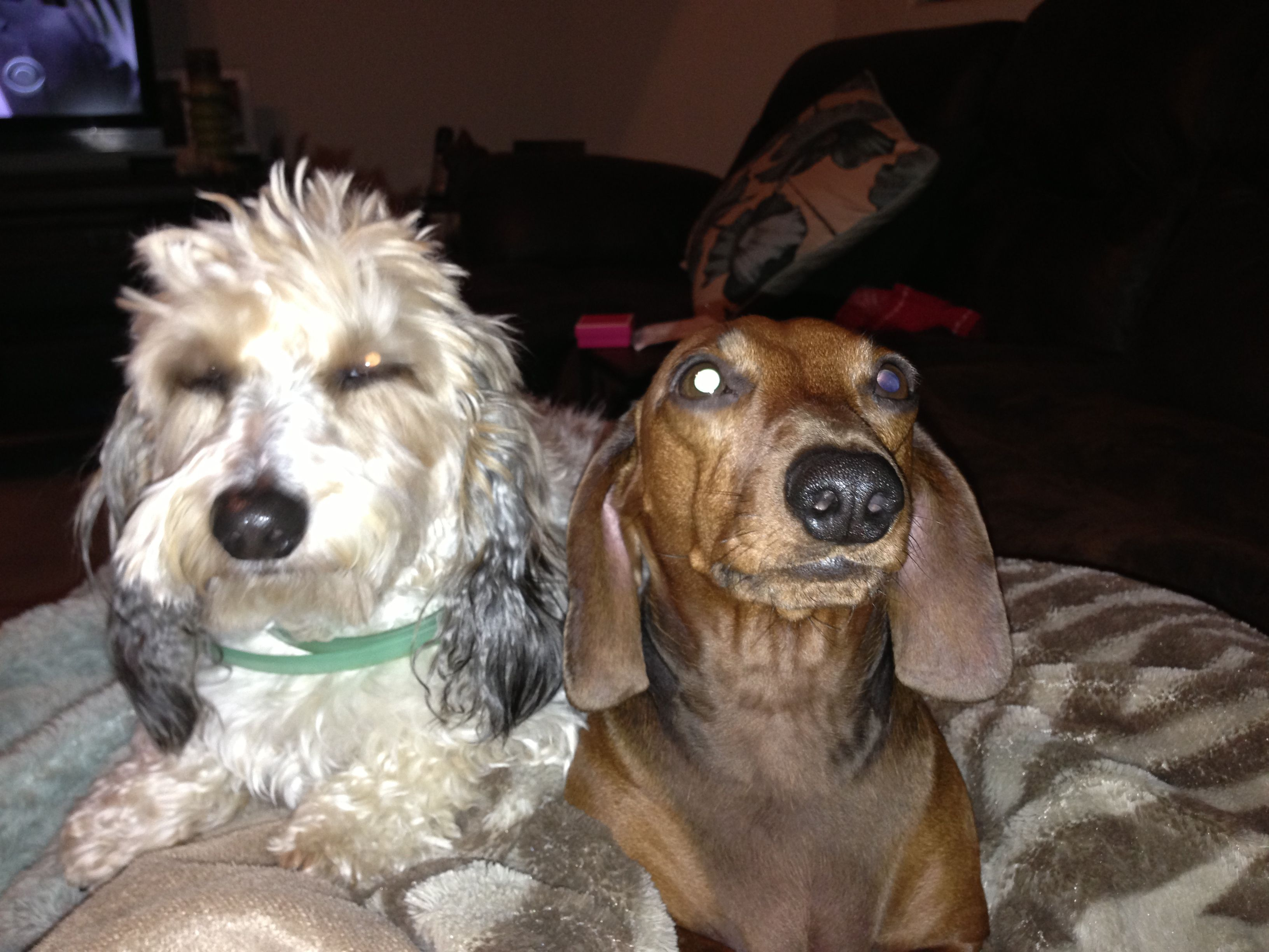 Daushunds Best friends doxie