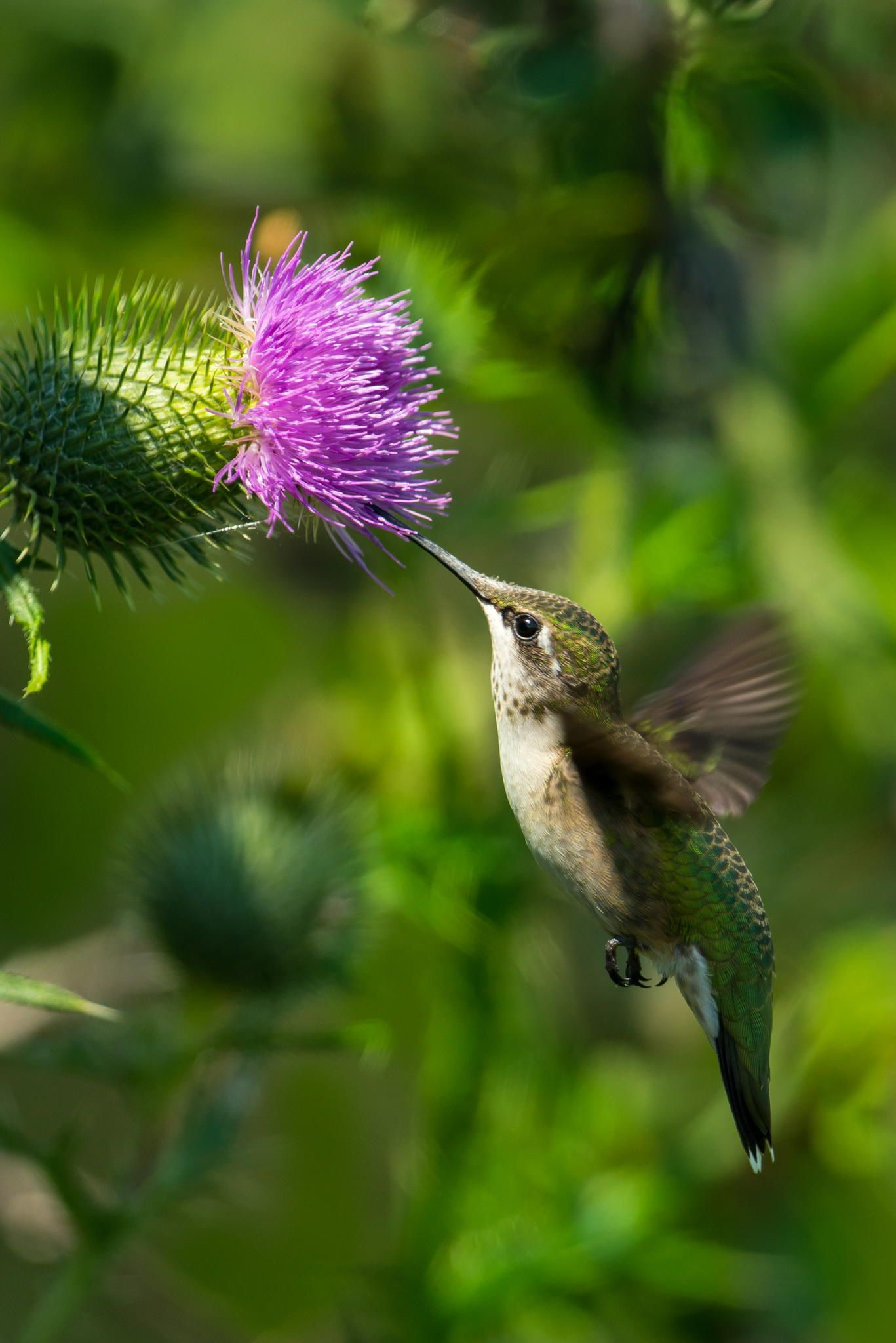 Ruby Throated Hummingbird at a thistle by David Allan on 500px ...