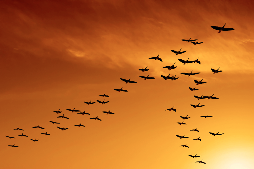 This Image Indicates The Law Of Proximity The Birds Flock Closely Together Causing Viewers To Perceive Them As A Bird Migration Birds Flying Migratory Birds