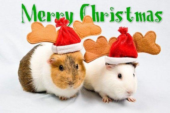 guinea pig christmas cards