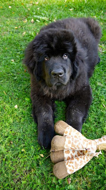 Newfoundland puppy looking all innocent
