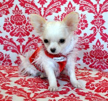 Teacup White Long Hair Chihuahua Princess Sold Moving To Sarasota
