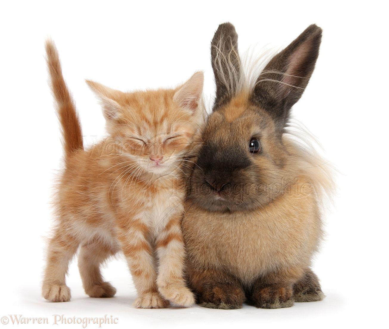 Sleepy Ginger Kitten And Lionhead Cross Rabbit Ginger Kitten Kitten Pets
