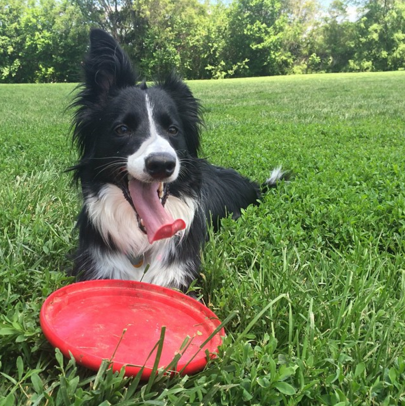 Happiness is a frisbee at the dog park - Capehart Dog Park - Bellevue, NE - #dogs #puppies #cutedogs #dogparks #bellevue #nebraska #angusoffleash