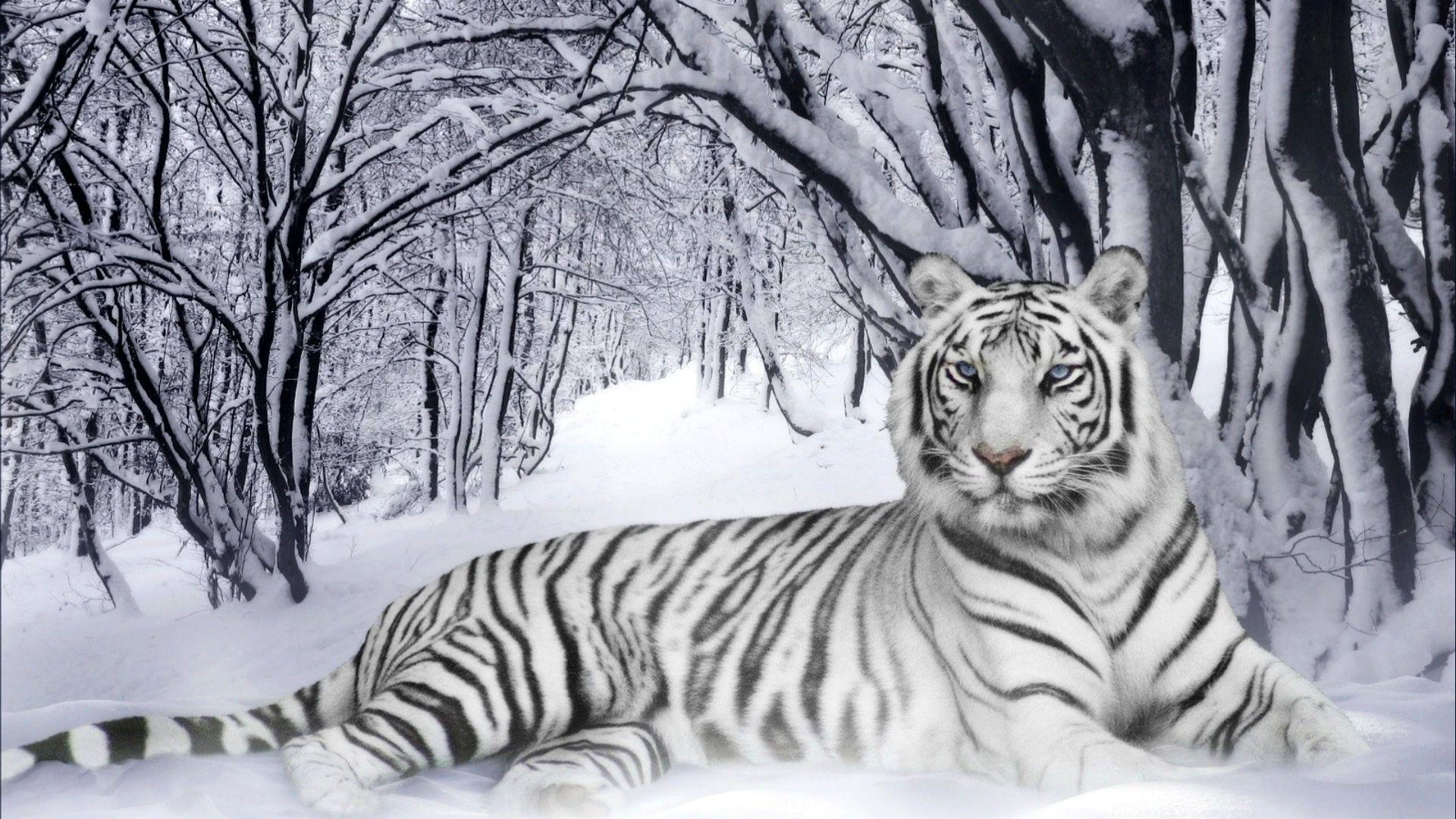 Felin Foret Froid Hiver Neige Noir Et Blanc Tigre Tigre Blanc Les Chats Sauvages Animaux Beaux
