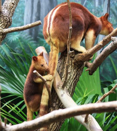 this is a very rare goodfellows tree kangaroo native resident of australia and cousin