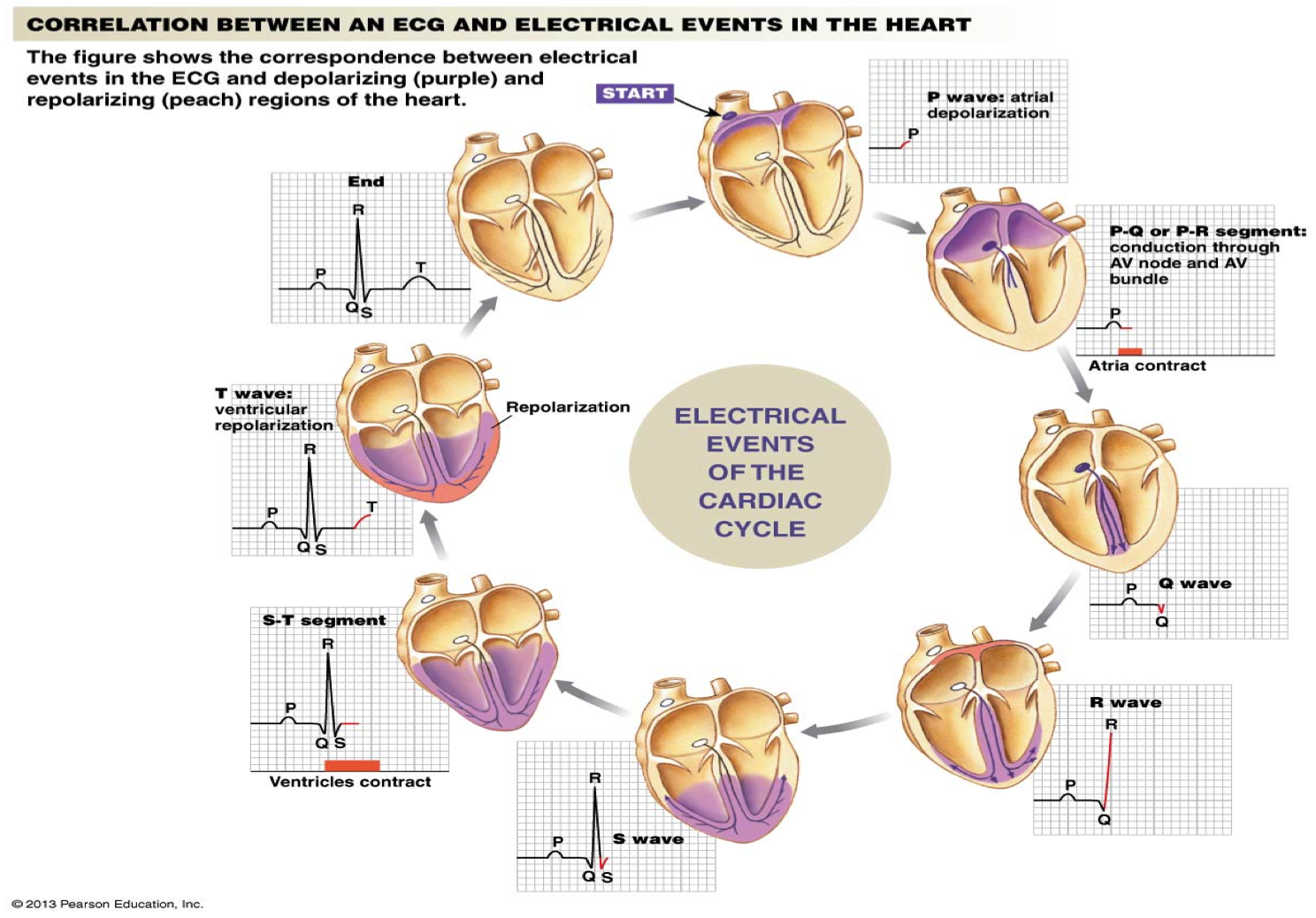 Electrical events of the cardiac cycle cardiology i pinterest electrical events of the cardiac cycle pooptronica