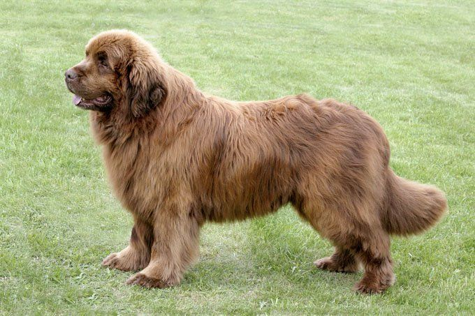 Newfoundland Dog Breed Information Pictures Characteristics Facts Large Dog Breeds Newfoundland Dog Puppy Extra Large Dog Breeds