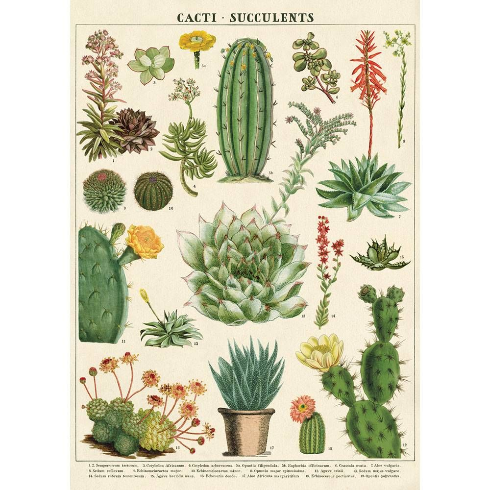 Cacti And Succulent Flat Wrap In 2019 Vintage Botanical Prints Cactus Drawing Botanical Prints
