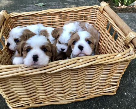 Litter Of 3 Cavalier King Charles Spaniel Puppies For Sale In Leicester Nc Adn 44 Cavalier King Charles Spaniel Spaniel Puppies For Sale King Charles Spaniel