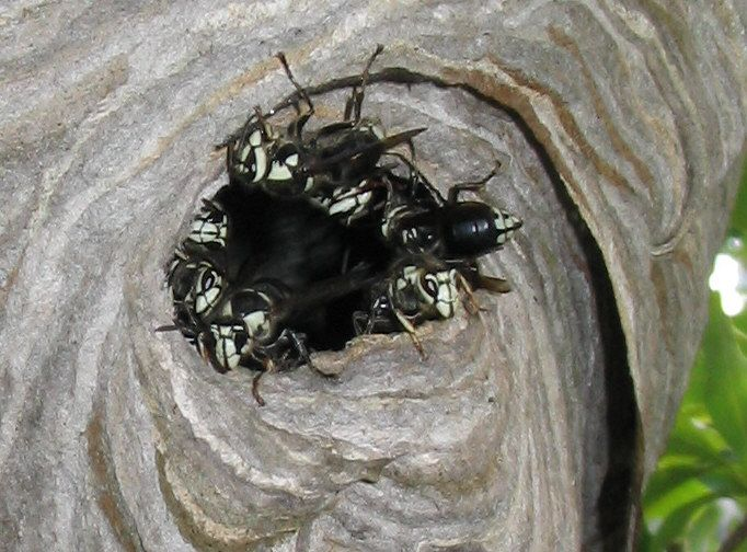 dolichovespula maculata is a north american wasp commonly