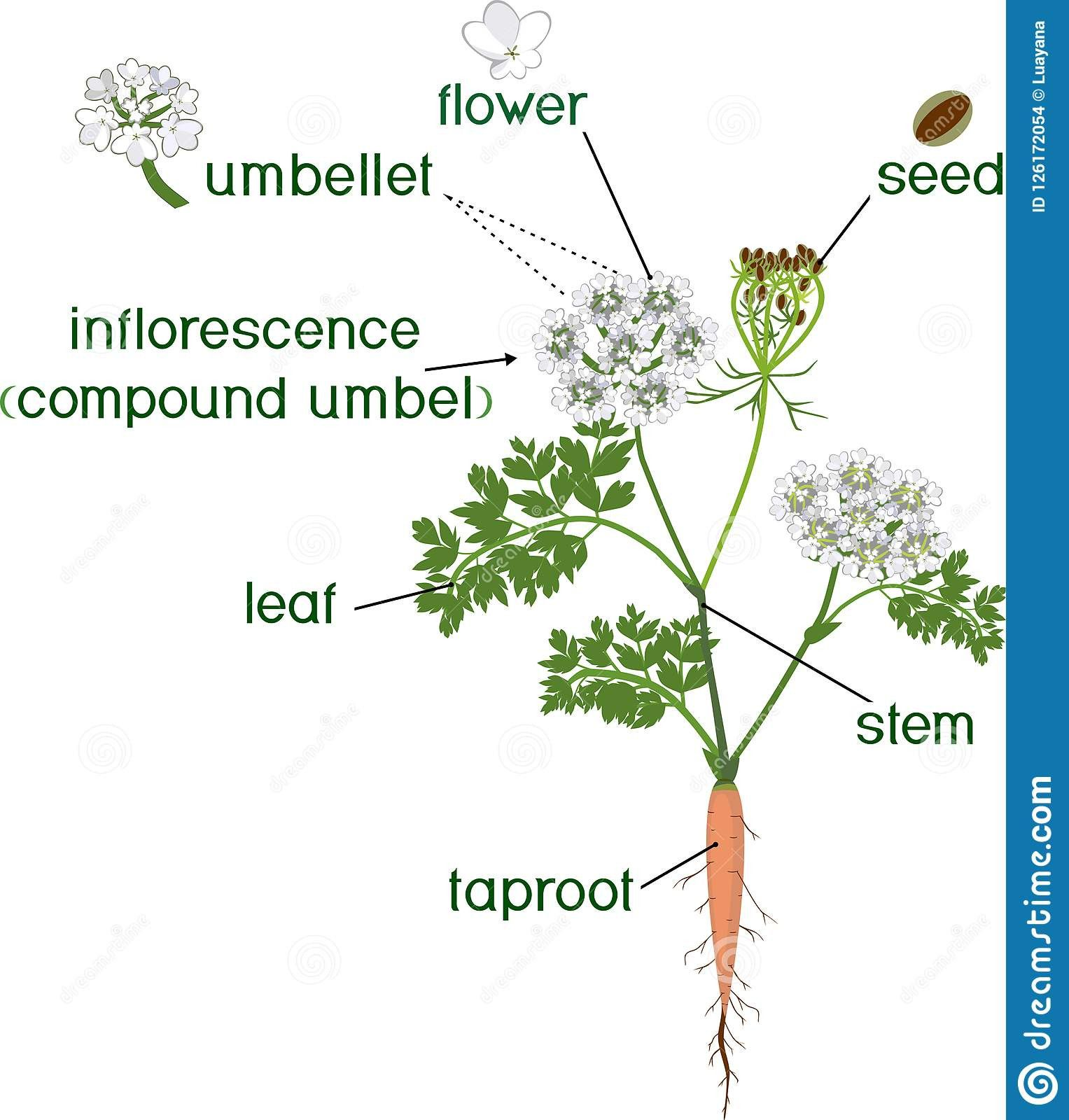 Parts Of A Carrot Plant Inspirational Taproot Stock Illustrations 191 Taproot Stock In 2020 How To Plant Carrots Plants Taproot