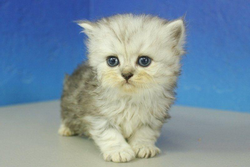Heather Silver Chinchilla Tabby Female Ragamuffin Kitten Ragamuffin Kittens Teacup Kitten Tabby