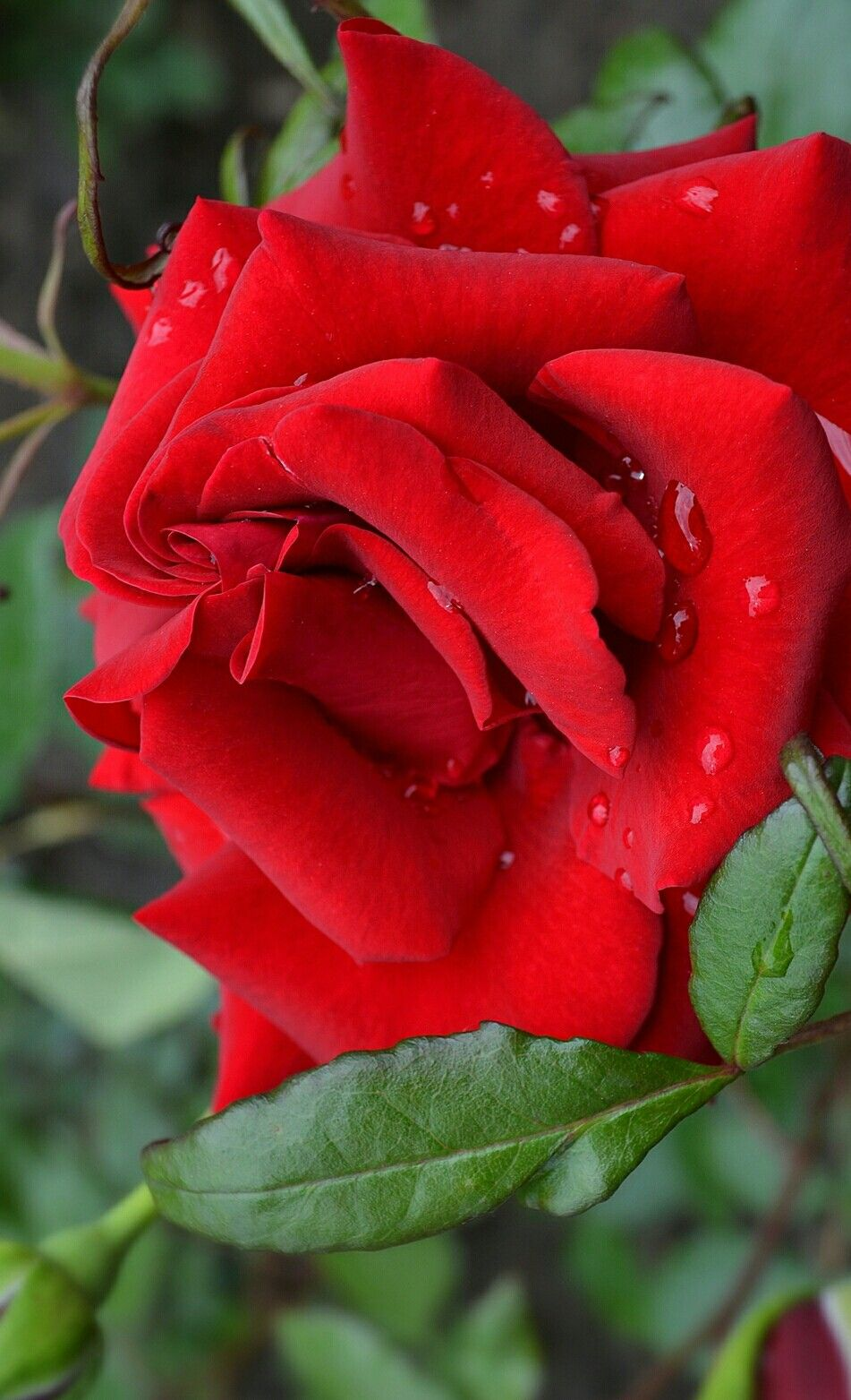 Red rose red roses pinterest rose flowers and beautiful flowers red rose izmirmasajfo