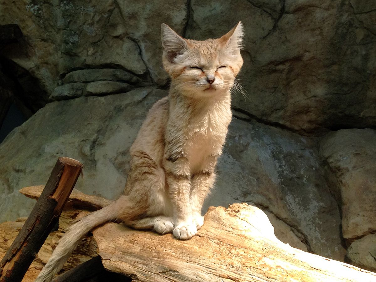 """Looks like our sand cat Cleo is rethinking that whole """"It's time to get up"""" nonsense, as this post #FromACurator shares."""