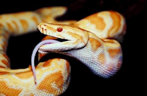 Jiboia Papel De Parede De Cobra Sonhar Com Cobras Repteis