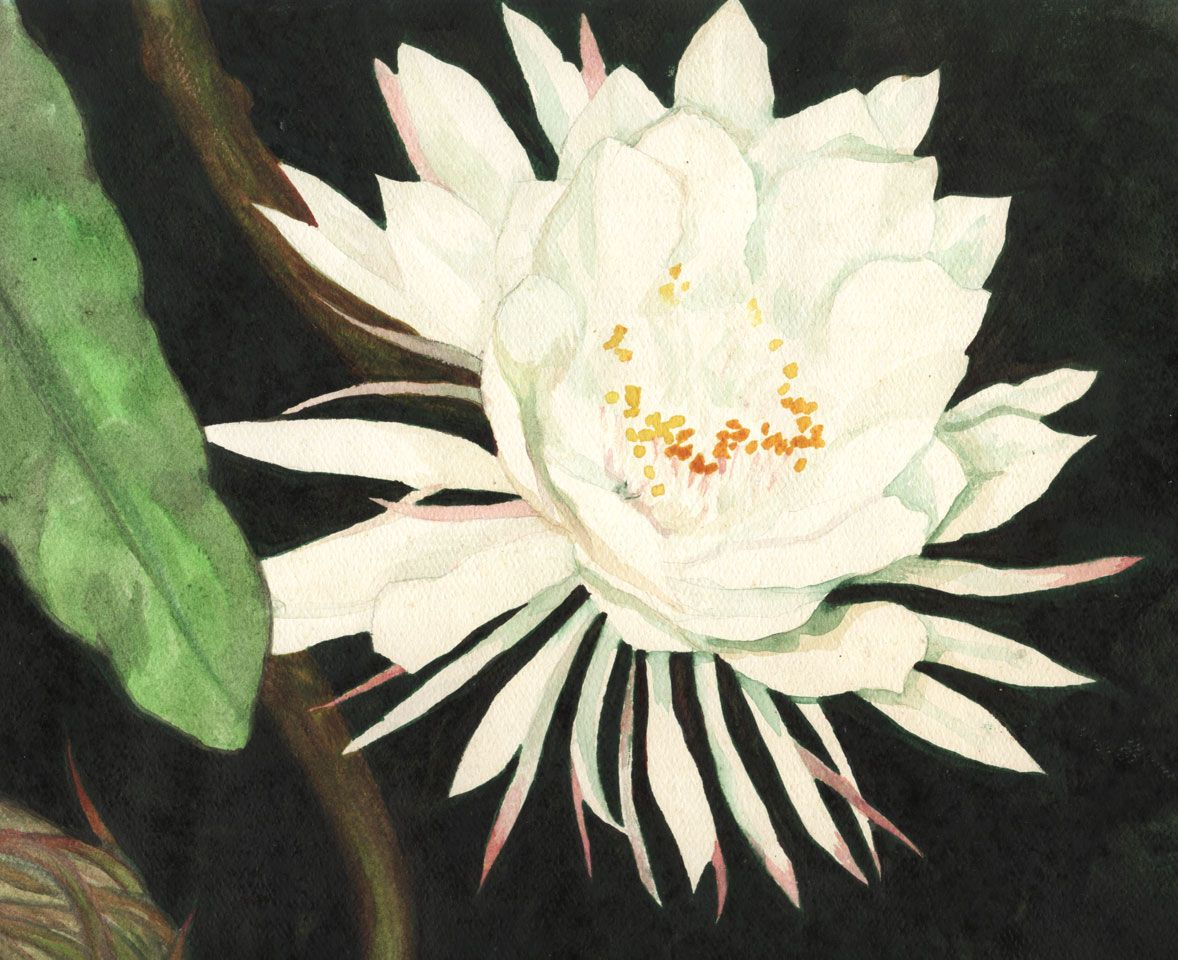 Cereus Flower Cacti Cactus Flower And Plants