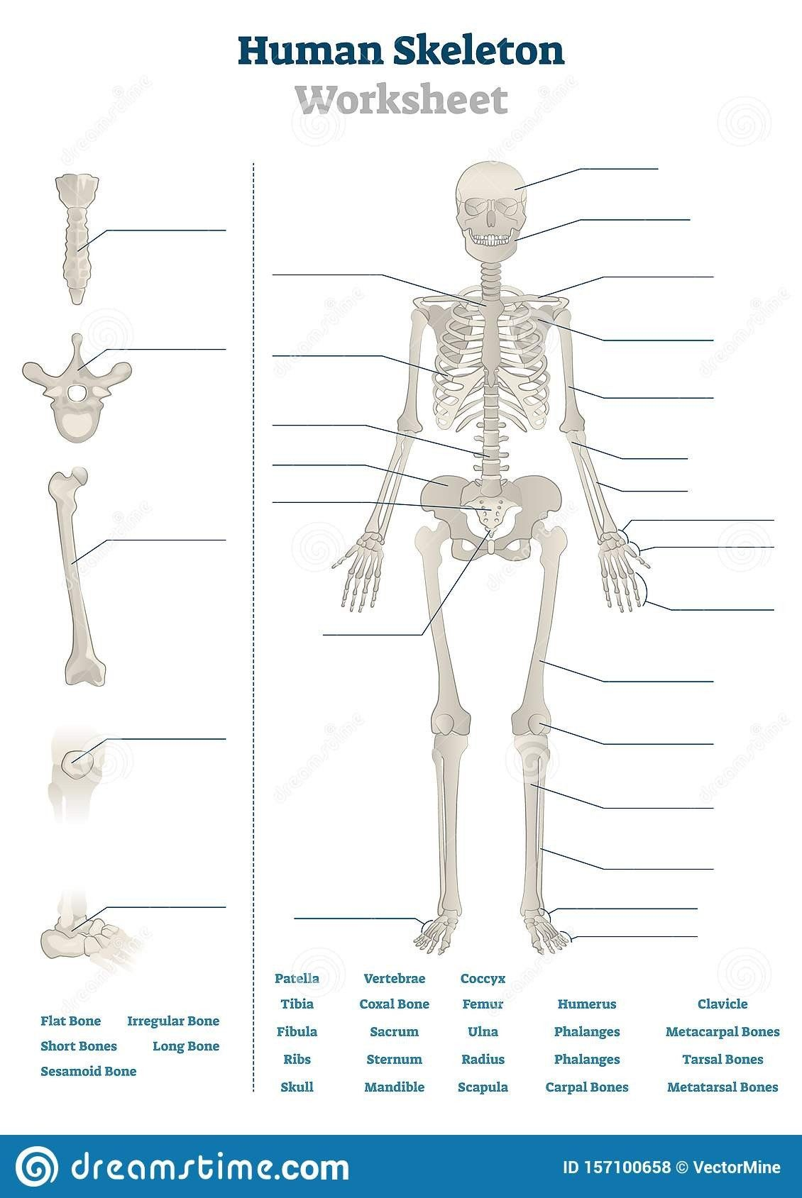 Free Printable Human Anatomy Worksheets Human Skeleton