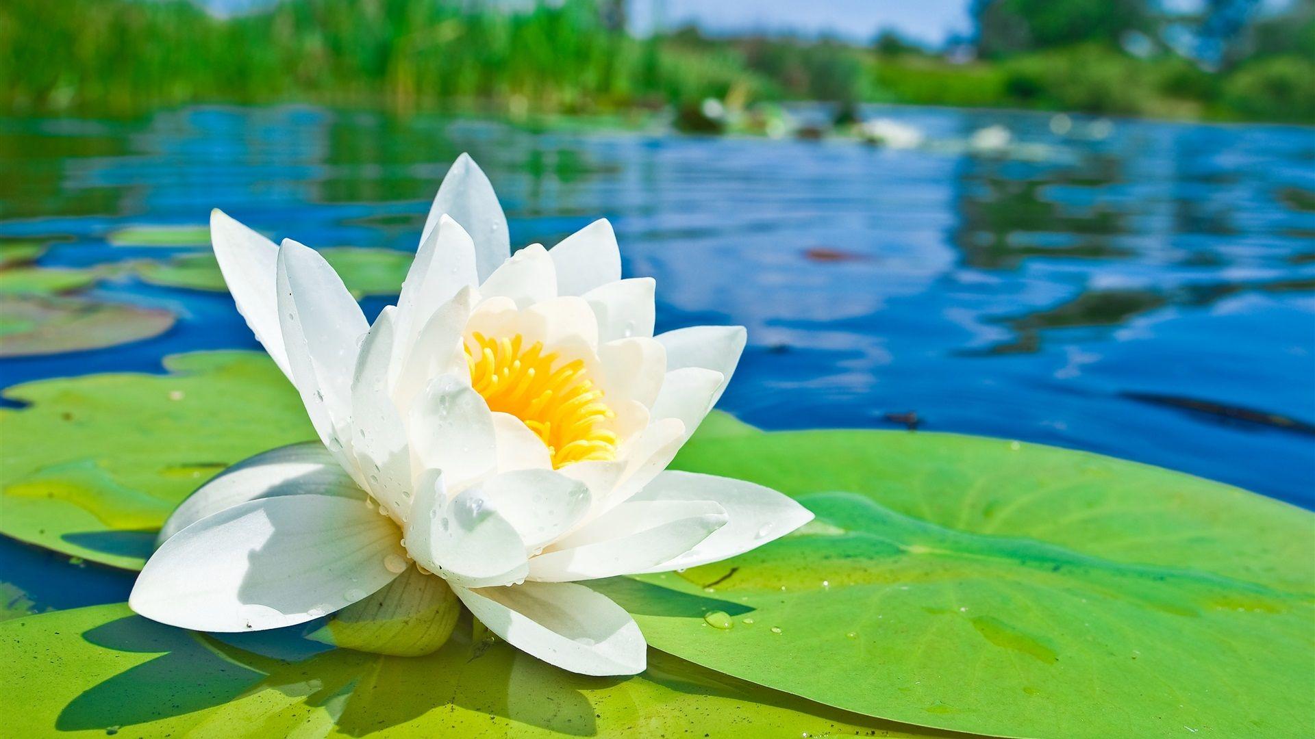 flor de loto blanco macro fotografía, hojas verdes
