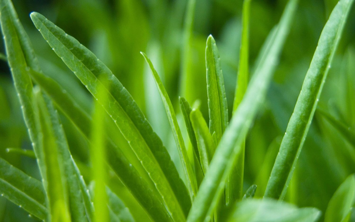 Cat Grass Heirloom 25 Seeds by HeirloomsRUsSeeds on
