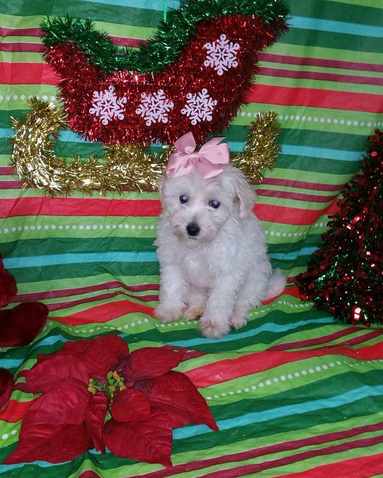Maltipoo Puppy For Sale In Texas Maltipoo Puppies For Sale Maltipoo Puppy
