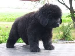 Image Result For Newfoundland Size Comparison Newfoundland Dog