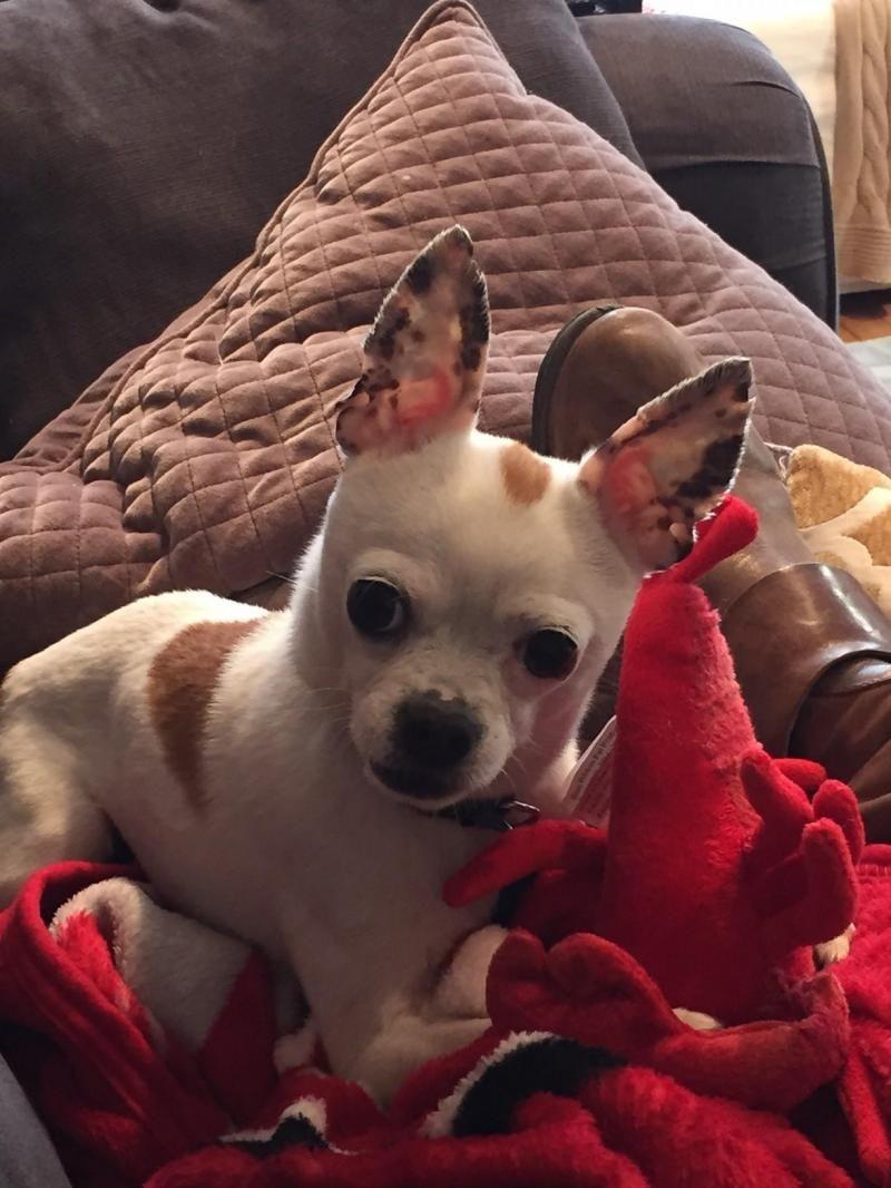Adopt Caspar On Chihuahua Dogs Chihuahua Chihuahua Love