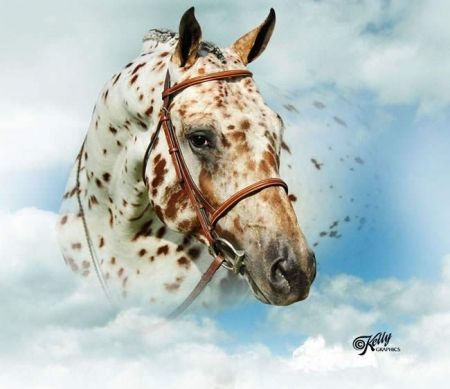 Appaloosa Horses for Sale | Spot My Blue Boy, Appaloosa