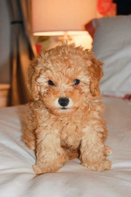 Meet Teddy Puppies Poodle Poodle Puppy