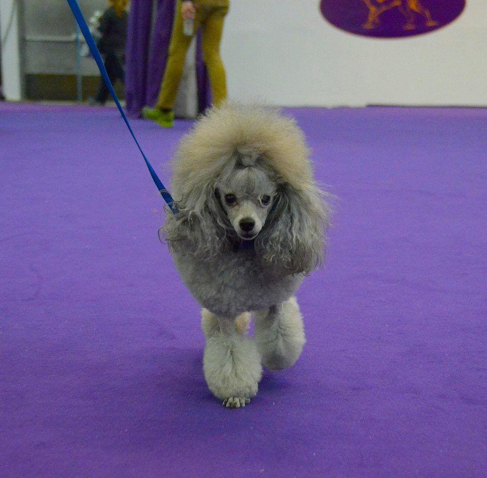Andrea Arden Dog Training Westminster Dog Show Poodle Dog Show