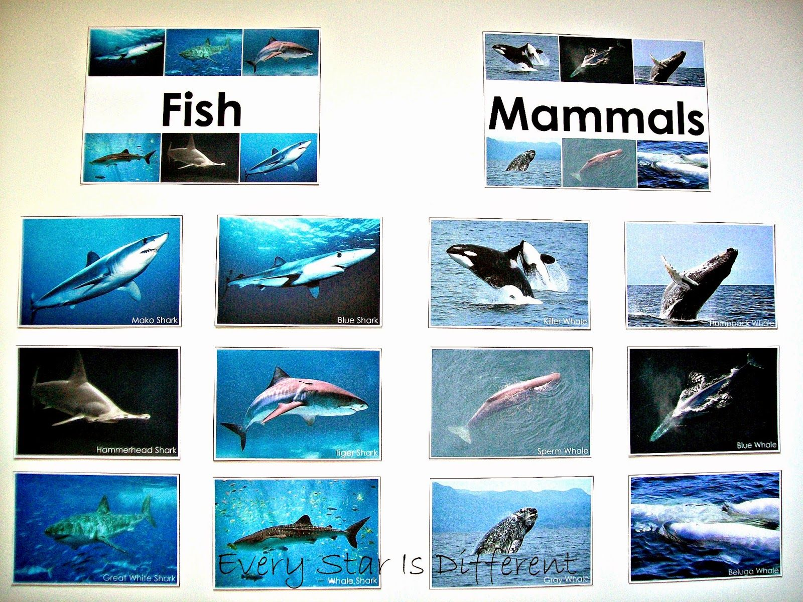 Image Result For Shark Is Mammal Or Fish