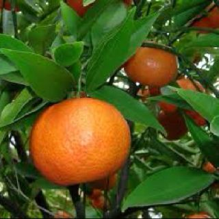 Chen-pi ( Tangerine Peel) is used to alleviate allergies and digestive disorders. This herb also encloses a chemical that helps to enhance the output of the heart.