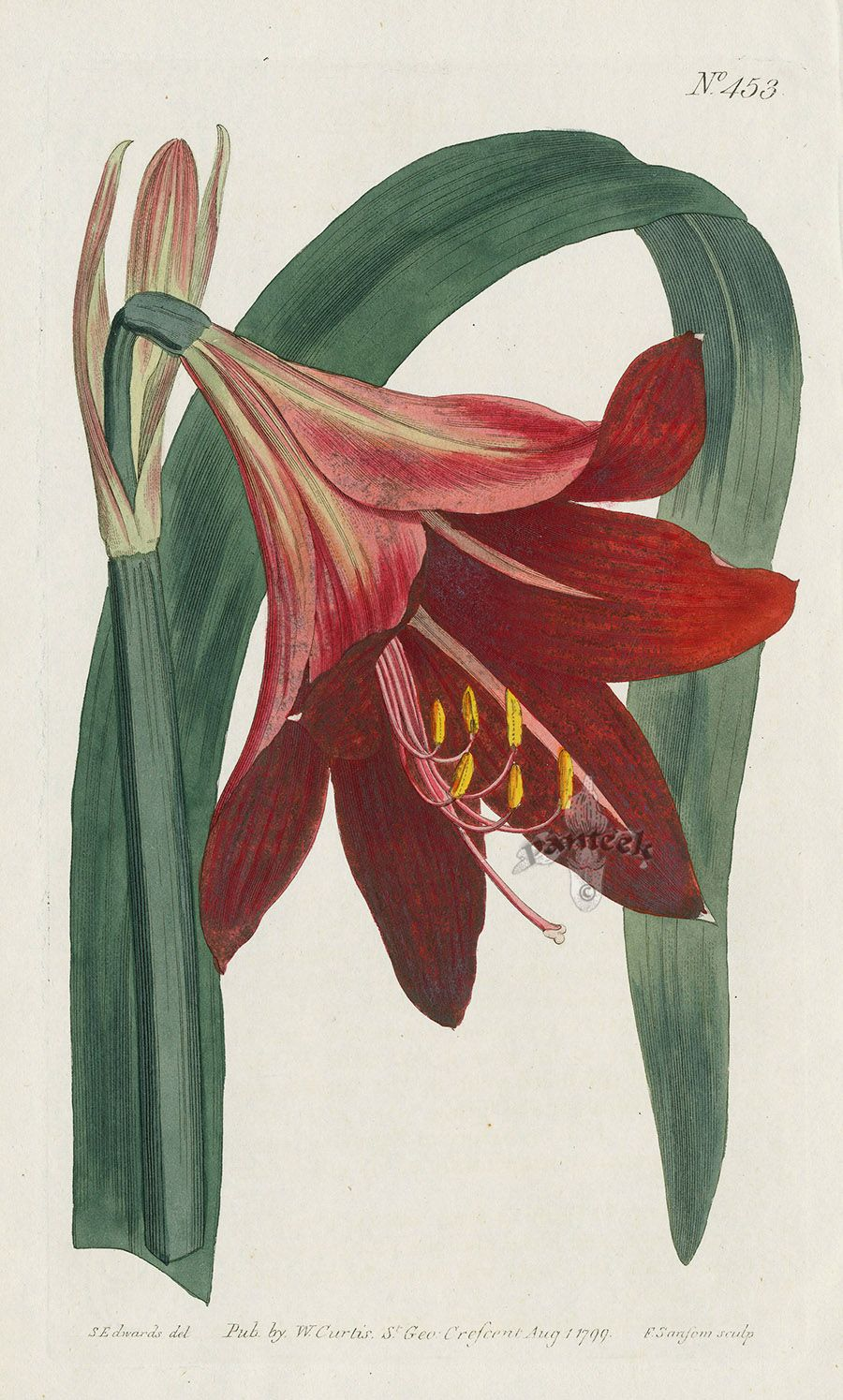 Amaryllis Regin Mexican Lily From William Curtis Flowers
