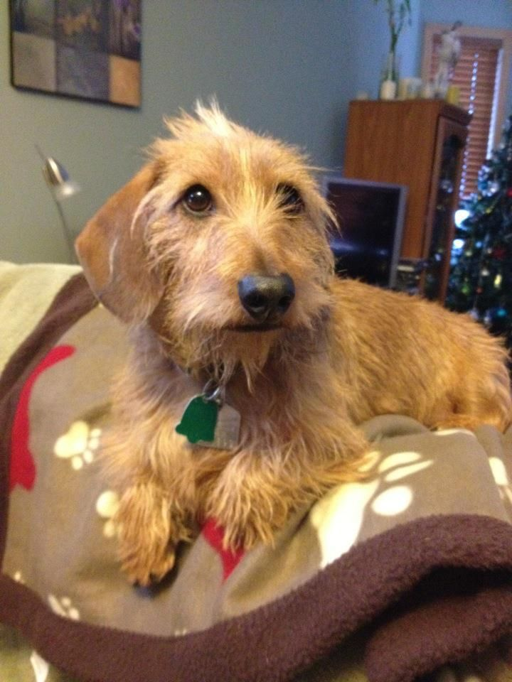 Looks Just Like My Ratta Dachshund Love Wire Haired