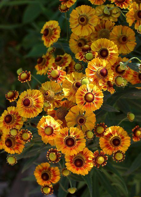 Helenium autumnale 'Sunset Shades' Sneezeweed
