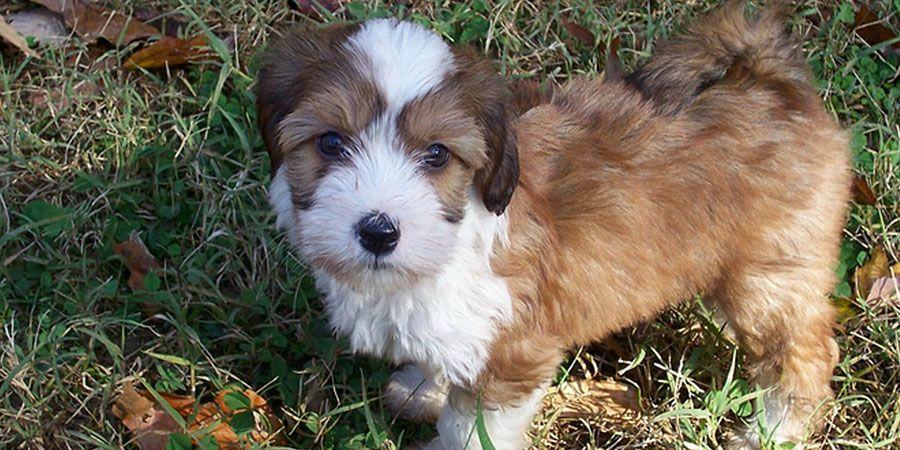 Tibetan Terrier - Price, Temperament, Life span | Терьер ...