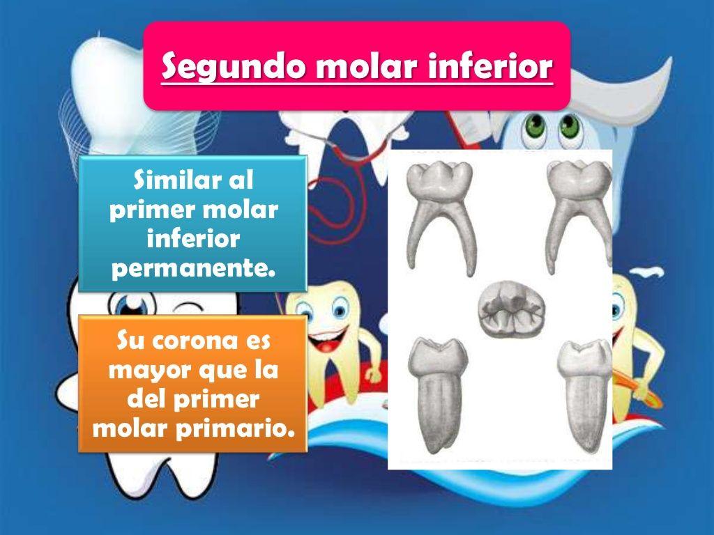 Excepcional Prueba De La Anatomía Dental Festooning - Anatomía de ...