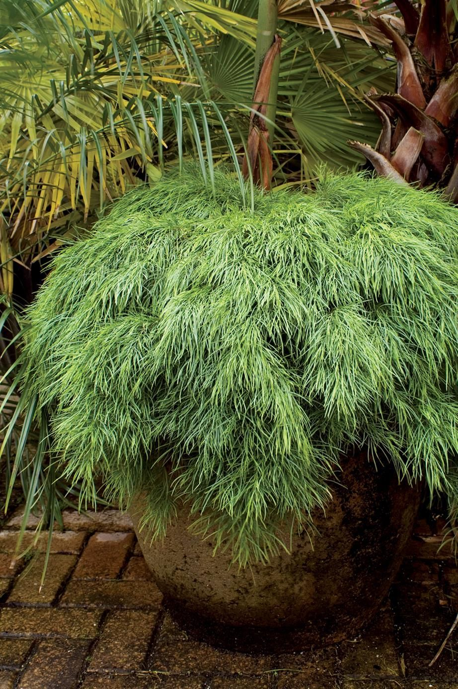 The Acacia Limelight Is Famed For Its Lush Lime Green Foliage And Compact Shape And Is The Perfect Plant If You Want To Add Some Wow Factor To Your Garden 2020