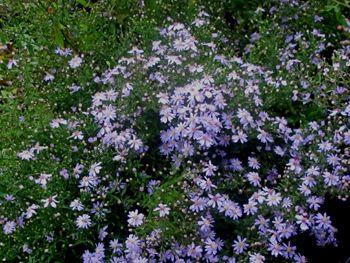 Perennial listings garden pinterest aster perennials and perennial listings drought tolerantasterblue flowersperennials mightylinksfo