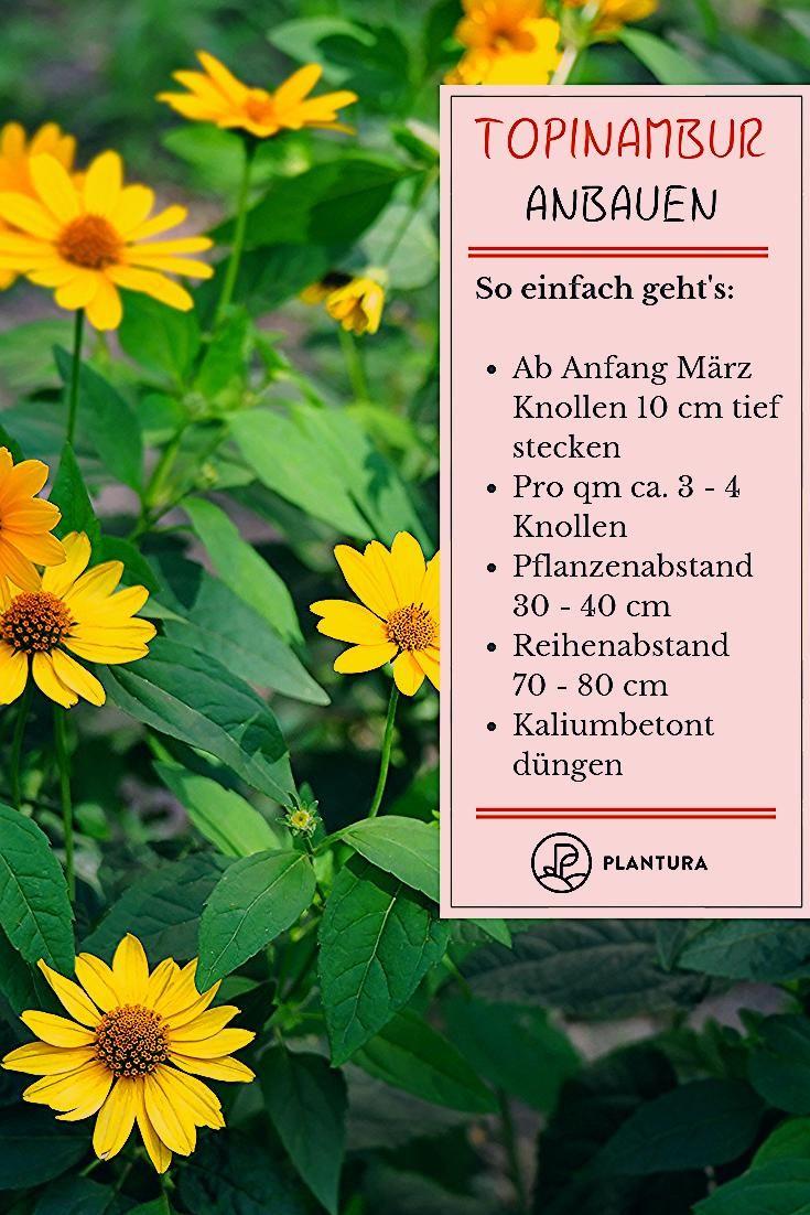 Photo of Topinambur: Wunderknolle und Blütenpracht im Garten – Plantura