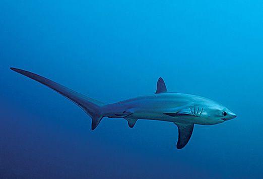 TUBARÃO RAPOSA  (thresher sharks)