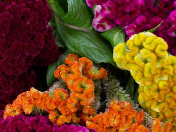 Dwarf Coral Garden Mix Cockscomb Baker Creek Heirloom Seed Co Celosia Flower Flower Seeds Annual Flowers