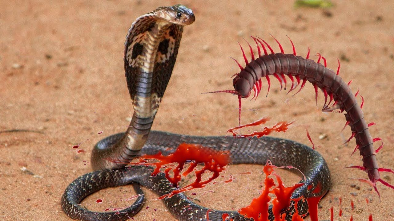 snake vs giant centipede fight to death snakes fight