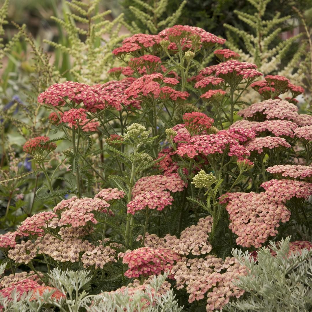 Bop Bopa A Lu A Whop Bam Boo Tutti Frutti Apricot Delight Yarrow Carefree Compact Water Wise And Water Wise Plants Summer Flowers Garden Yarrow Plant