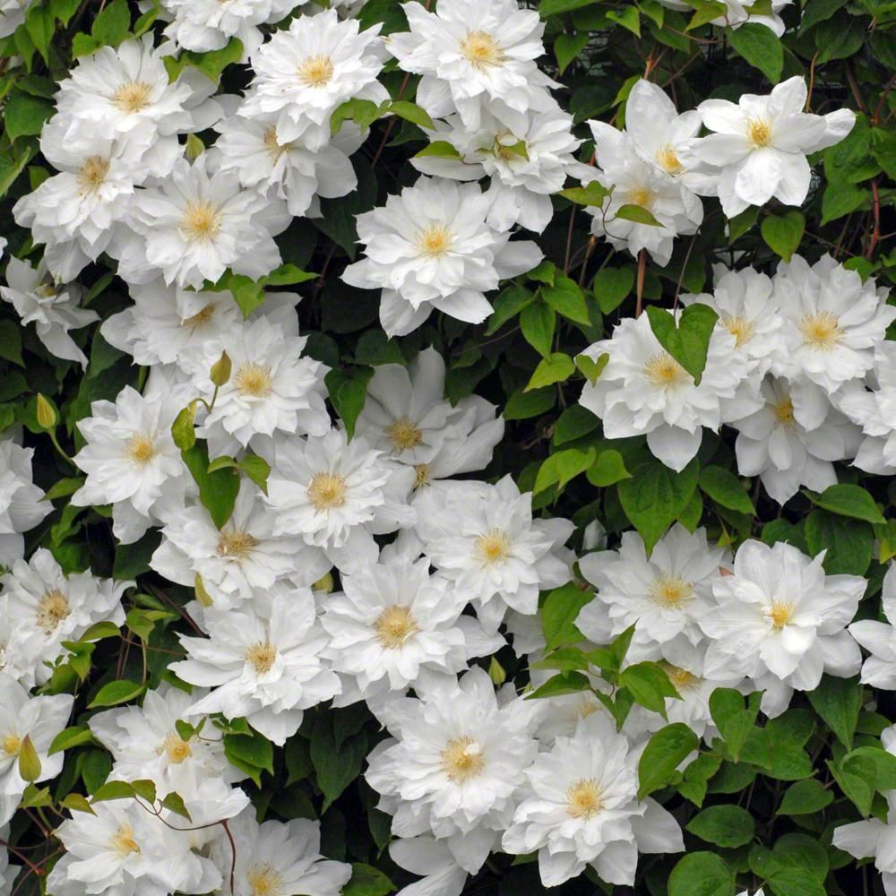Spring hill nurseries isago clematis live bareroot plant white